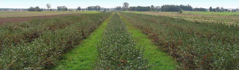 polska plantacja aronii